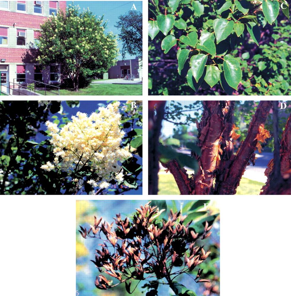 Syringa Pekinensis Sundak Copper Curls A Widely Adapted Tree
