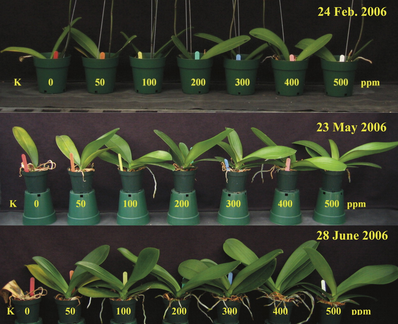 Potassium Nutrition Affects Phalaenopsis Growth and