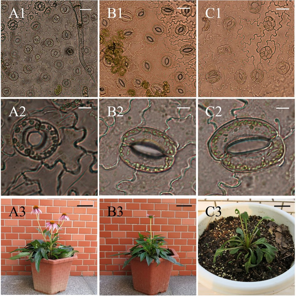 In Vitro Segregation of Tetraploid and Octoploid Plantlets from