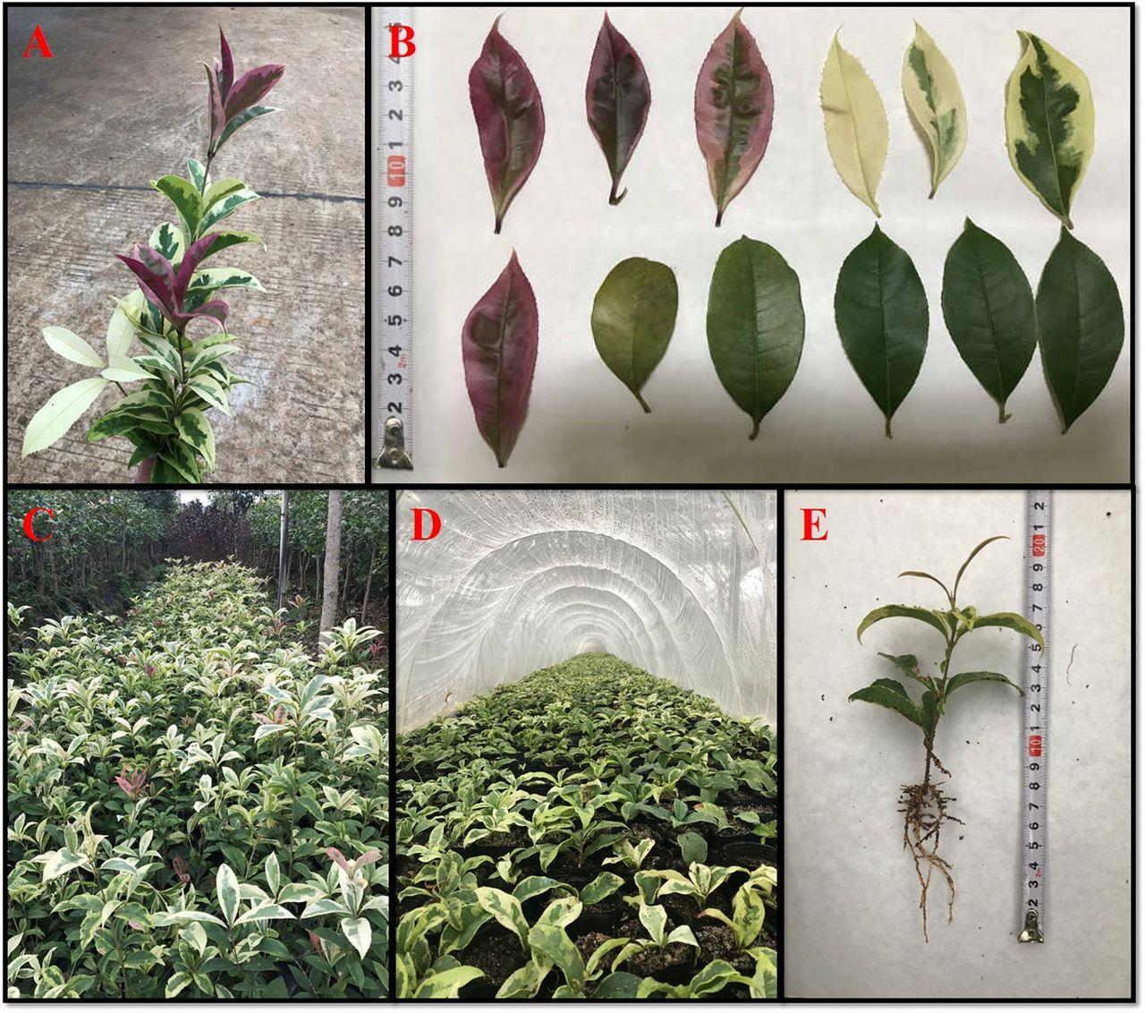 e62f555e3 Osmanthus fragrans 'Cai Ye Gui', a Variegated Cultivar in ...