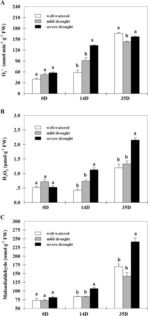 Water Deficit Irrigation Impacts on Antioxidant Metabolism