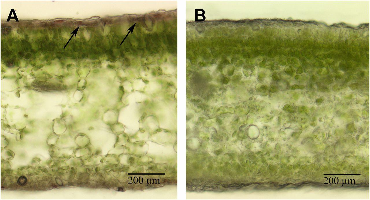 Ornacitrus: Development of Genetically Modified Anthocyanin