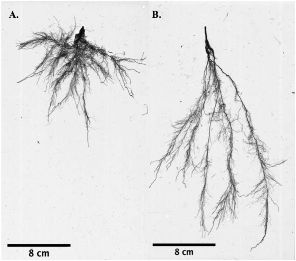 Toward Marker-assisted Breeding for Root Architecture Traits in