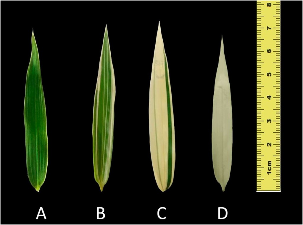 Differences In Photosynthesis Of Variegated Temple Bamboo Leaves With Various Levels Of Variegation Are Related To Chlorophyll Biosynthesis And Chloroplast Development In Journal Of The American Society For Horticultural Science Volume 143
