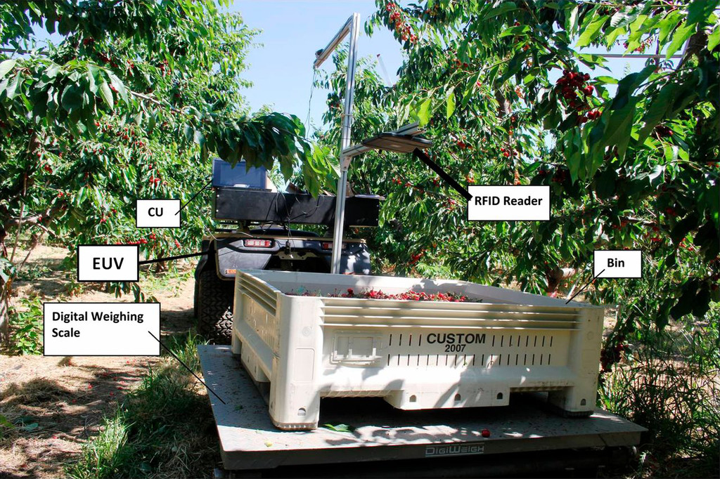 Training System Affects Sweet Cherry Harvest Efficiency in