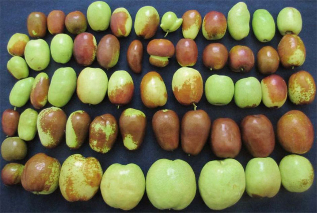 Past, Present, and Future of Jujubes—Chinese Dates in the United