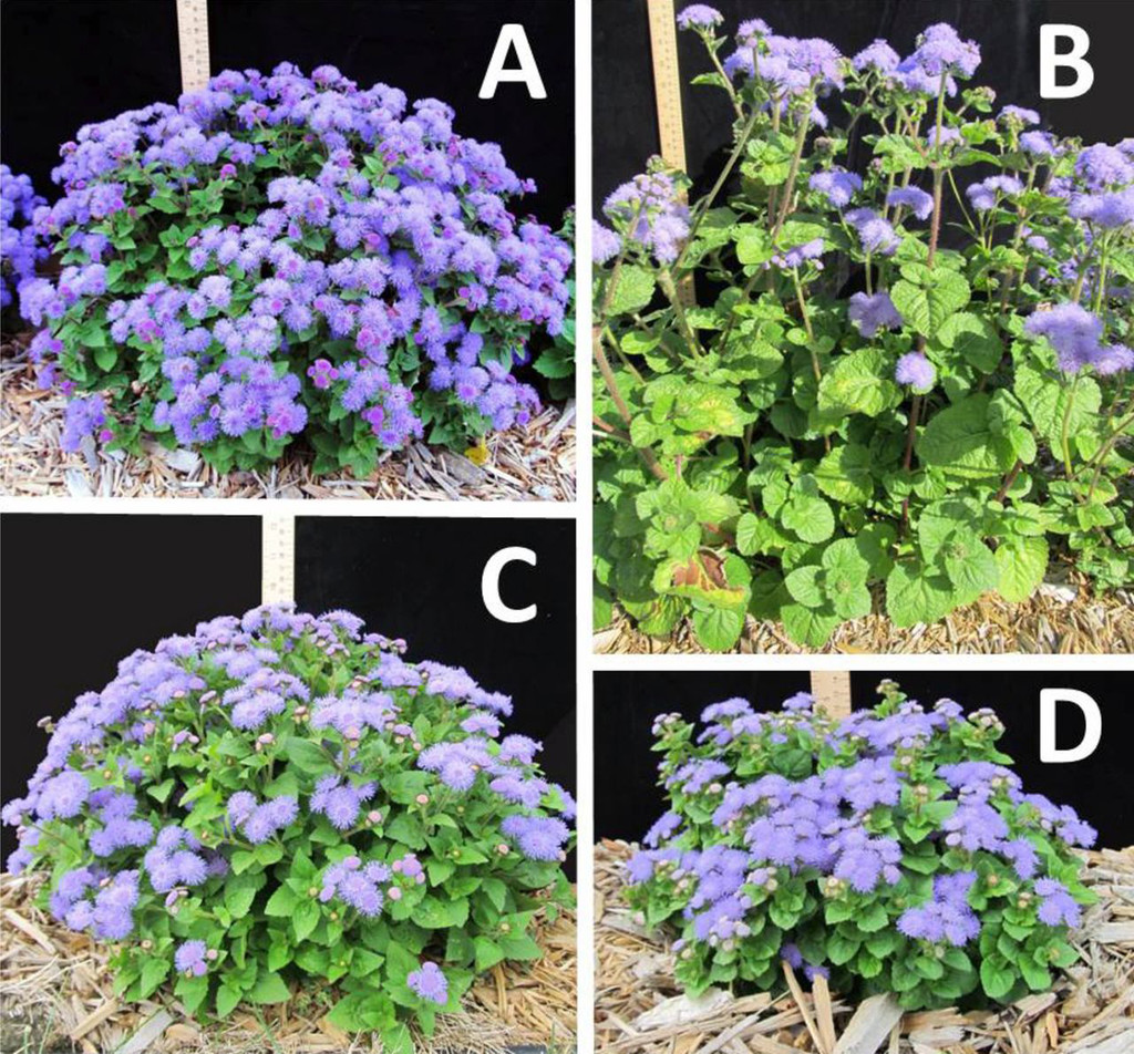 Ageratum L John Eustice A New Vigorous Lavender Blue Flowered Summer Annual In Hortscience Volume 49 Issue 4 2014