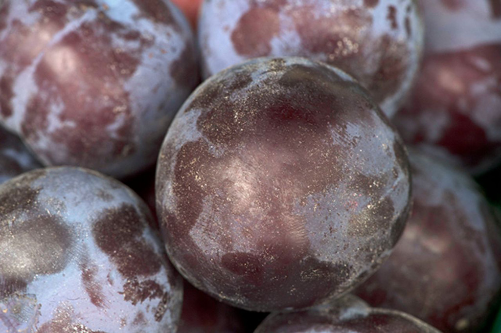Luther Burbank's Plums in: HortScience Volume 50 Issue 2 (2015)