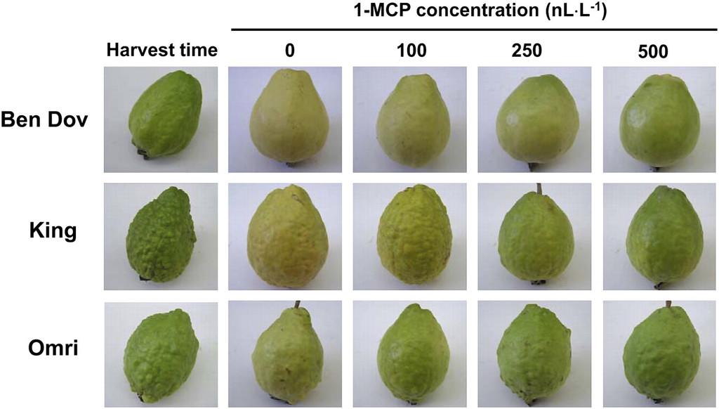 Postharvest Longevity and Responsiveness of Guava Varieties