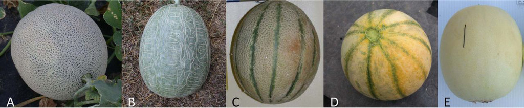 Pre And Postharvest Muskmelon Fruit Cracking Causes And Potential Remedies In Horttechnology Volume 23 Issue 3 2013 Discussion from the chowhound home cooking, cantaloupe food community. pre and postharvest muskmelon fruit