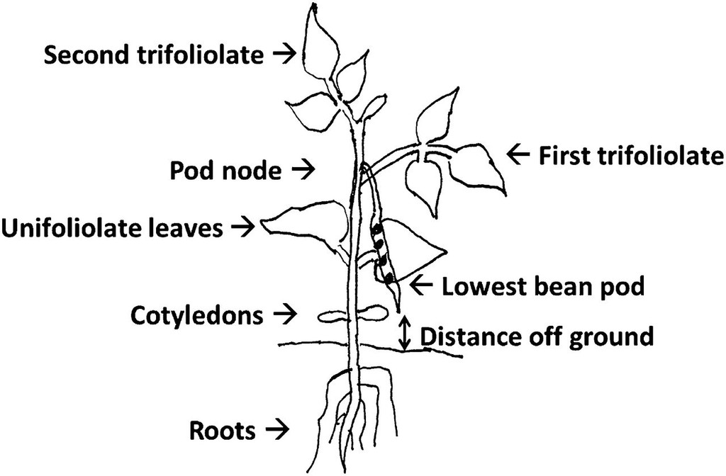 diagram of common bean seedling showing measurement of height of lowest  pod's tip aboveground (clearance)