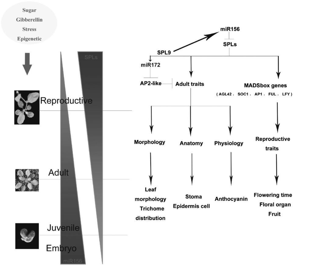 Involvement of miR156 in the Regulation of Vegetative ...
